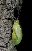 Image of: Pterophylla camellifolia (common true katydid)
