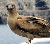 Image of: Sula leucogaster (brown booby)