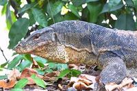 Image of: Varanus salvator (water monitor)