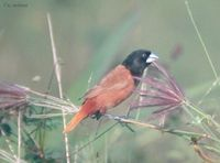 Black-headed Munia - Lonchura malacca