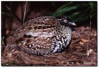 Black-breasted Buttonquail - Turnix melanogaster