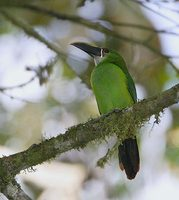 Andean Toucanet (Aulacorhynchus prasinus) photo
