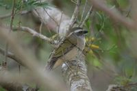 Green-winged Saltator - Saltator similis