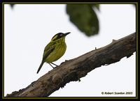Yellow-browed Tody-Flycatcher 2