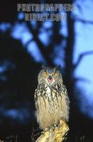 Eurasian Eagle Owl Bubo bubo stock photo