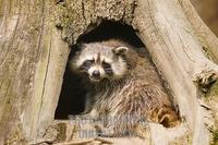 ...mmon raccoon ( Procyon lotor ) sitting in a hollow trunk in the Gelsenkirchen zoo . stock photo