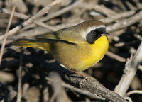 : Geothlypis trichas; Common Yellowthroat