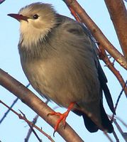Red-billed Starling » Sturnus sericeus