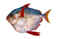 Lampris guttatus, Opah: fisheries, gamefish
