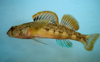 Etheostoma thalassinum, Seagreen darter: