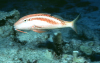 Parupeneus chrysonemus, Yellow-threaded goatfish: