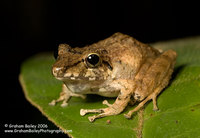 Stiped-throated Rain Frog - Eleutherodactylus lanthanites