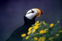 Fratercula corniculata - Horned Puffin