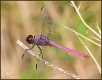 Image of: Orthemis ferruginea