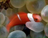 Image of: Amphiprion frenatus (blackback anemonefish)