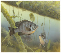 Image of: Lepomis microlophus (redear sunfish)