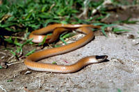 Image of: Tantilla nigriceps (plains black-headed snake)