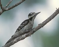 Hairy Woodpecker (Picoides villosus) photo