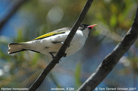 Painted Honeyeater - Grantiella picta