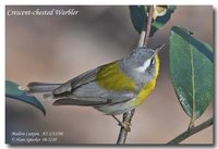 Crescent-chested Parula - Parula superciliosa