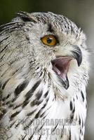 Siberian eagle owl ( Bubo bubo sibiricus ) stock photo