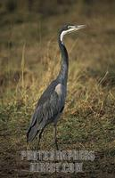Black headed heron , Ardea melanocephala , Maasai Mara National Reserve , Kenya stock photo