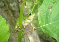 : Hyla savignyi; Lemon-yellow Tree Frog