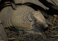 : Tolypeutes matacus; Southern Three-banded Armadillo
