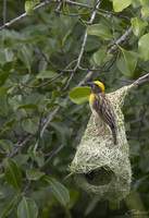 Ploceus philippinus  Baya Weaver photo