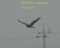 개구리매 Eastern Marsh Harrier