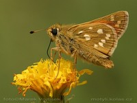 Hesperia comma - Silver-spotted Skipper