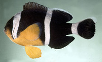 Amphiprion chrysogaster, Mauritian anemonefish: