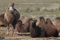 Image of: Camelus bactrianus (Bactrian camel)