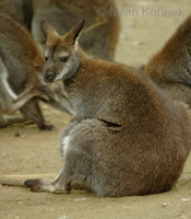 Macropus rufogriseus - Red-necked Wallaby