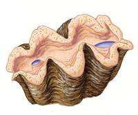 Image of: Tridacna gigas (giant clam)