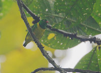 Yellow-collared Chlorophonia (Chlorophonia flavirostris) photo