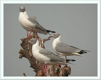 Gray-headed Gull - Larus cirrocephalus