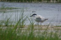 Gull-billed Tern - Sterna nilotica
