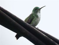 Plain-bellied Emerald - Agyrtria leucogaster