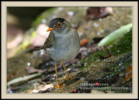 Black-headed Nightingale-Thrush - Catharus mexicanus