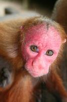 Red faced Uakari monkey (Cacajao calvus ) also known as the Bald Uakari.