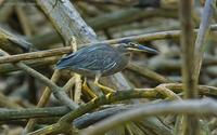 Little-Heron