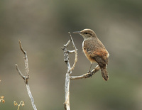 : Salpinctes obsoletus; Rock Wren