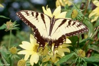 : Papilio glaucus; Eastern Tiger Swallowtail