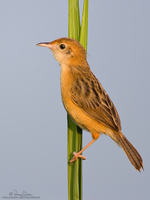 Bright-Capped Cisticola Scientific name - Cisticola exilis