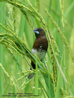 White-bellied Munia Scientific name - Lonchura leucogastra