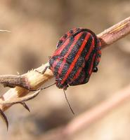 Graphosoma lineatum - Stink Bug