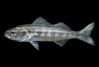 Xenistius californiensis, Californian salema: fisheries