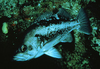 Sebastes melanops, Black rockfish: fisheries, gamefish, aquarium
