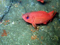 Myripristis leiognathus, Panamic soldierfish: fisheries